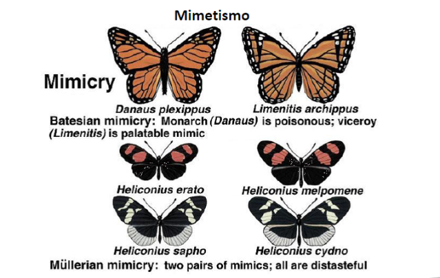 Butterfly Mimicry