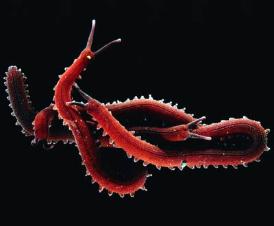 Lobopodia