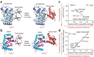 A dual fusion selection for enhancing in vivo protein stability.