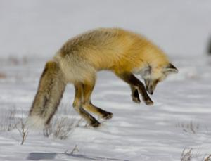 Fox Pouncing On Essentiall Undetectable Prey Under Snow