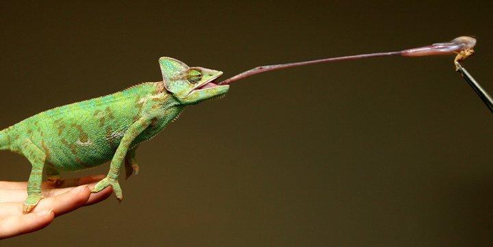 Les Asuras. Lizard-tongue