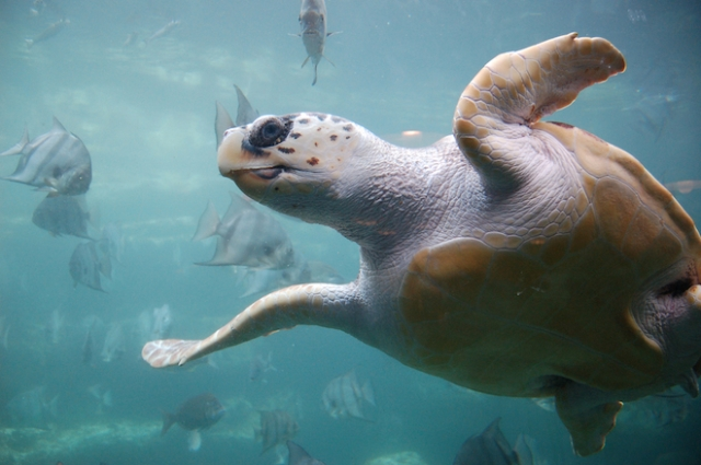 A Sea Turtle Uses Earth's magnetic field to Navigate