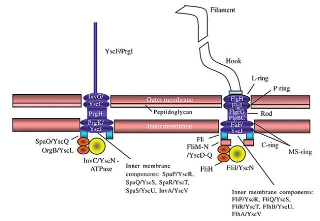 Type III Secretion System Injector