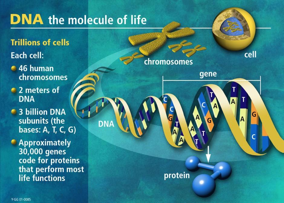 DNA - Molecule of Life