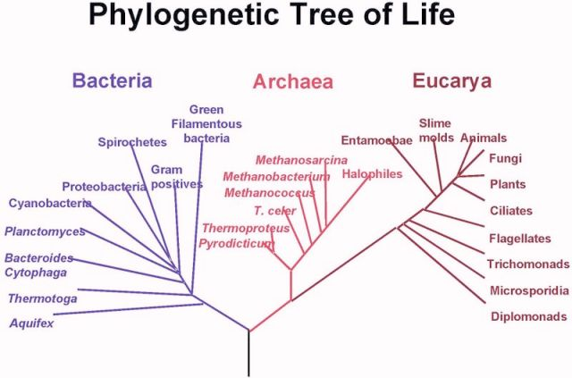 phylogenetic-tree-big